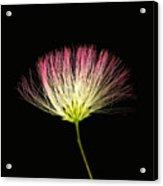 Pink Silk Acrylic Print