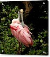 Pink Spoonbill Acrylic Print