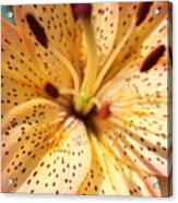 Pink Spotted Lilly Acrylic Print