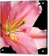 Pink Stargazer Acrylic Print