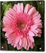 Pink Stunner Acrylic Print
