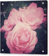 Pink Summer Roses Acrylic Print