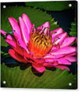 Pink Summer Water Lily Acrylic Print
