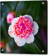 Pink Tenderness Acrylic Print