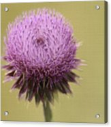 Pink Thistle Acrylic Print