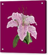 Pink Tiger Lily Blossom Acrylic Print