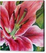 Pink Tiger Lily Acrylic Print