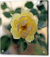 Pink Tipped Yellow Rose Acrylic Print