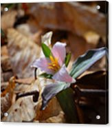 Pink Trillium In Lost Valley Acrylic Print