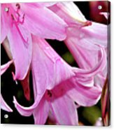 Pink Trumpet Lilies Acrylic Print