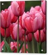 Pink Tuilips Acrylic Print