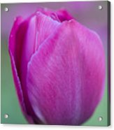 Pink Tulip Flower Acrylic Print by Frank Tschakert
