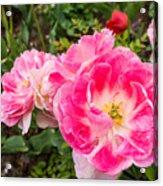 Pink Tulip, Keukenhof Acrylic Print