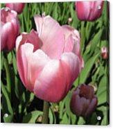 Pink Tulip Acrylic Print by Richard Mitchell