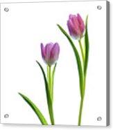 Pink Tulips 4 Acrylic Print