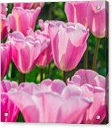 Pink Tulips Aglow Acrylic Print