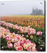 Pink Tulips And Tractor Acrylic Print