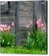 Pink Tulips And Weathered Shed Acrylic Print