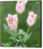 Pink Tulips Acrylic Print