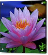 Pink Water Lily 007 Acrylic Print