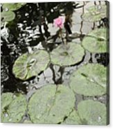 Pink Water Lily  Acrylic Print