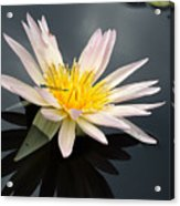 Pink Water Lily With Dragonfly Acrylic Print
