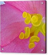 Pink Wax Begonia Acrylic Print