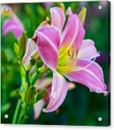 Pink White And Yellow Day Lily Acrylic Print