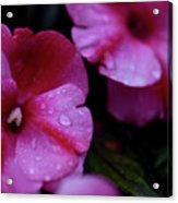 Pink Wonders Acrylic Print