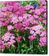 Pink Yarrows Acrylic Print