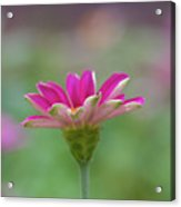 Pink Zin Acrylic Print