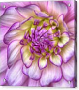 Pink Zinnia Close Up Acrylic Print