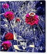 Pink Zinnia's Against A Silver Background Acrylic Print