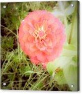 Pinkish Orange Zinnia On Green Background Acrylic Print