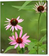Pinks In Bloom Acrylic Print