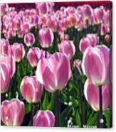 Pinky Tulips Acrylic Print