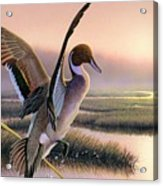 Pintail Duck-3rd Place Wi Acrylic Print