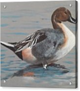 Pintail Acrylic Print by Jean Ann Curry Hess