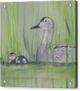 Pintails In The Reeds Acrylic Print