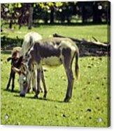 Pinto Donkey I Acrylic Print