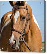 Pinto Pony Portrait Acrylic Print