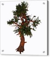 Pinus Aristata Tree Acrylic Print