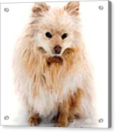 Pip Acrylic Print by Brent Ander