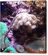 Pipe Fish And Sea Anemone  Acrylic Print