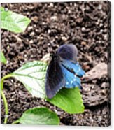 Pipevine Swallowtail Butterfly Acrylic Print