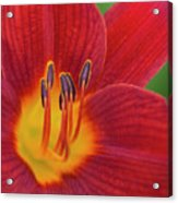 Pistil, The Female Reproductive Part Of A Flower Acrylic Print