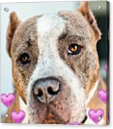 Pit Bull Dog - Pure Love Acrylic Print