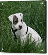 Pit Bull Puppy 5 White With Patch Acrylic Print