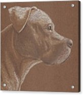 Pit Bull Acrylic Print by Stacey Jasmin