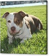 Pitbull In The Sun Acrylic Print